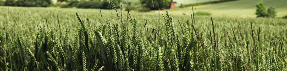 Effective Crop Protection Programmes for High Yielding Varieties