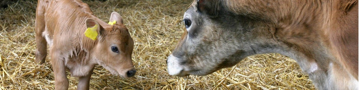 Smaller Stature Calves and Energy Requirements