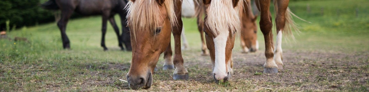 Feed and Management Tips for Cushingoid horses and ponies