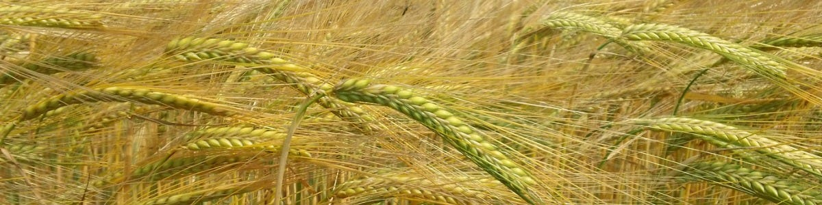 What is Hybrid Rye?