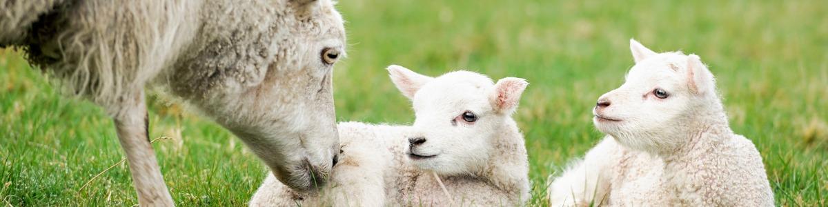 The Importance of Pre-Lamb Feeding