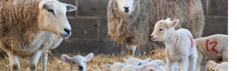 Hygiene at Lambing