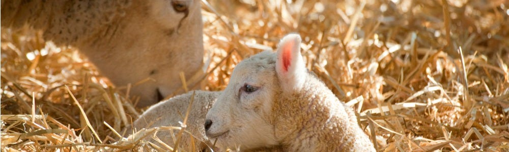 Ewe Colostrum: The substance for Success