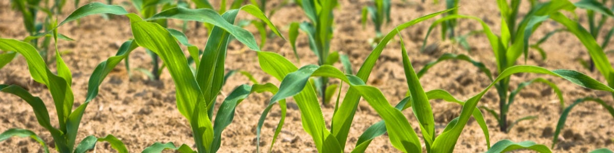Maize Inputs - Crop Protection