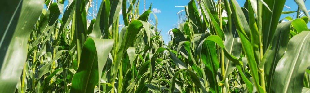 Maintain Your Maize Focus Through Harvest and Beyond