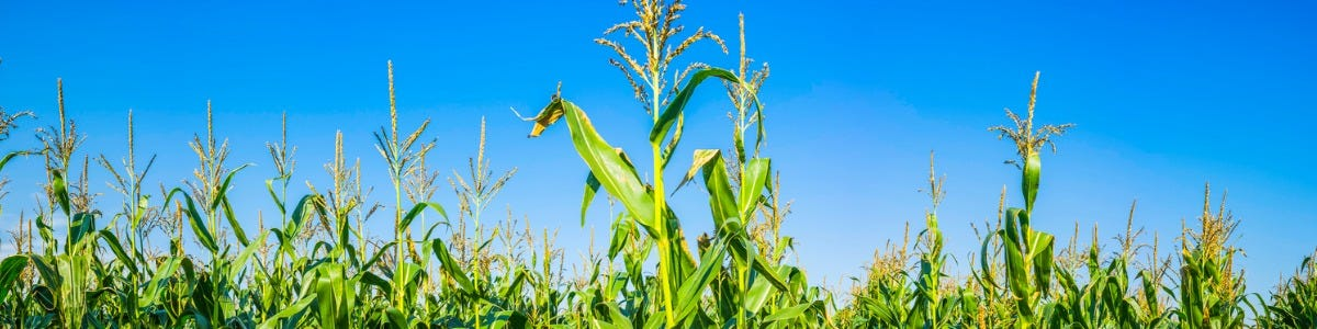 Planning ahead for the 2021 maize crop