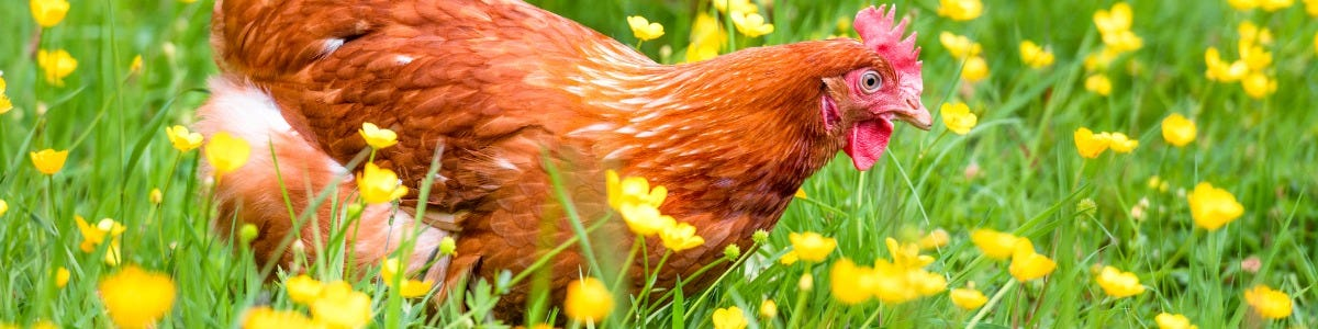 3 point checklist for starting out in free range hens