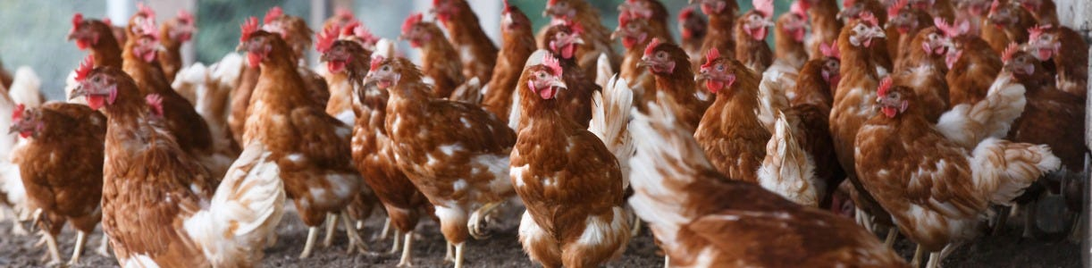 How to Keep your Birds Healthy through a Bird Flu Outbreak