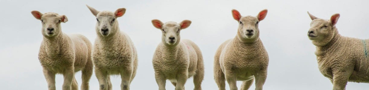 Are You Investing in Lamb Nutrition to Bolster Performance?