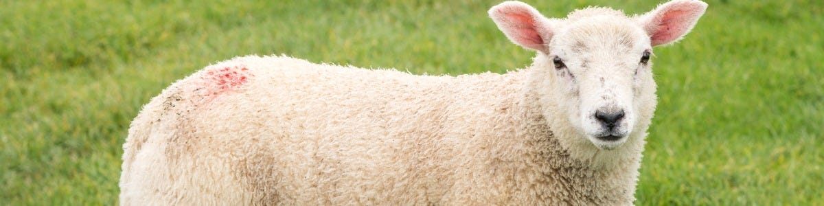 Reasons why you should consider blousing lambs with Wynnstay Lamb Bolus