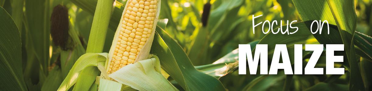 Maize Blog | Wynnstay Agrihub