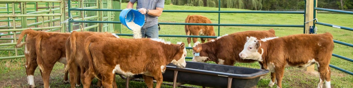 The Management of Calves