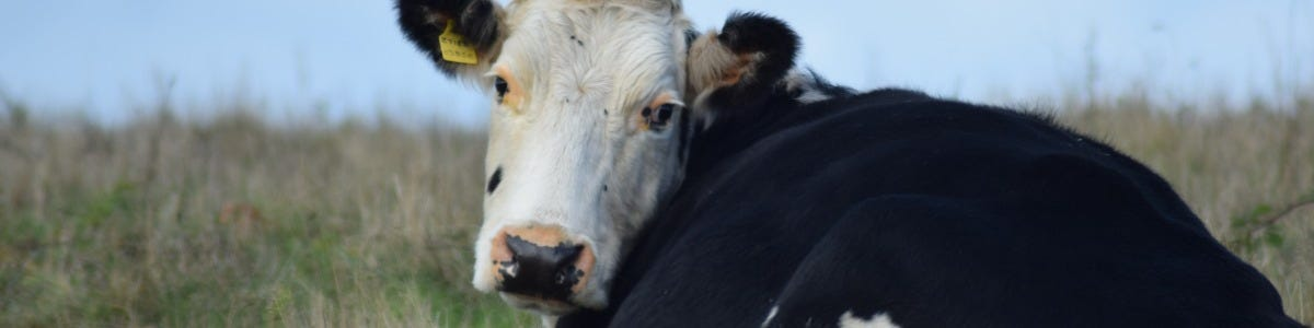 Considerations for Pregnant Heifers