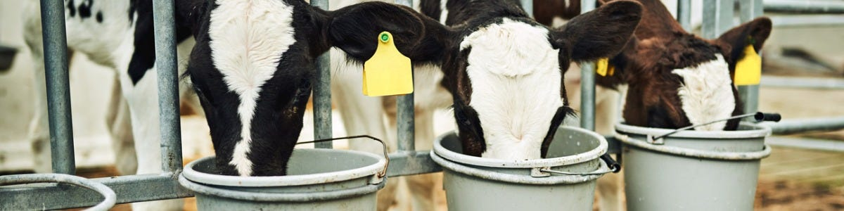 the importance of water for your calves