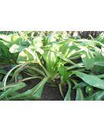Puna II Chicory Seed