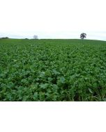 Interval Forage Rape Seed