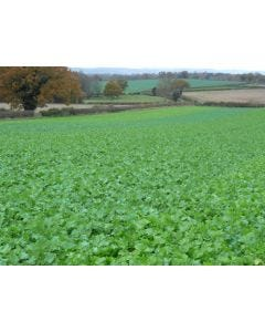 Swift Forage Rape Seed