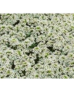 Country Value Alyssum Carpet of Snow