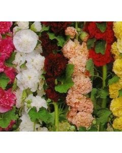 Country Value Hollyhock Double Mixed