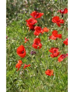 Country Value Poppy Wildflower