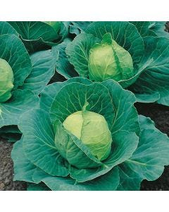 Country Value Cabbage Golden Acre (Primo 2)