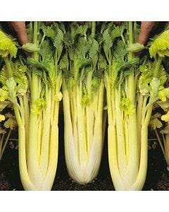 Country Value Celery Golden Self Blanching 3