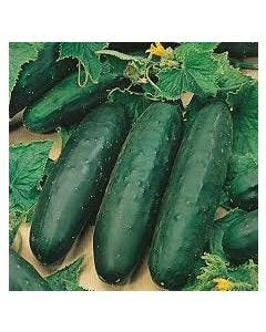 Country Value Cucumber Marketmore 76