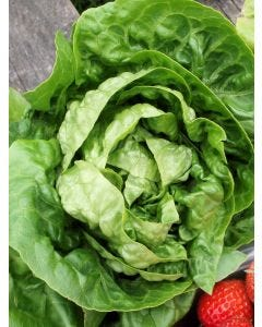 Country Value Lettuce Little Gem