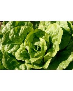 Country Value Lettuce All the Year Round