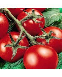 Country Value Tomato Moneymaker