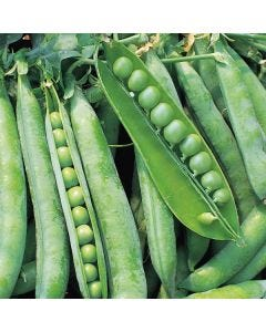 Country Value Broad Bean The Sutton