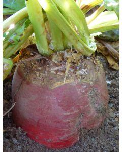 Blaze Fodder Beet Seed