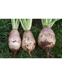Delilah Stubble Turnip Seed