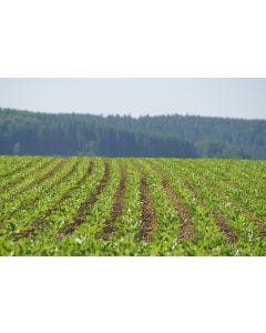 KWS Gerty Energy Beet Seed | Wynnstay Agriculture