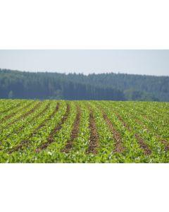KWS Eloquenta Energy Beet Seed