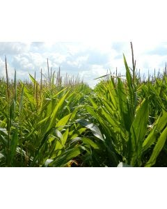 HiBird Compact Maize Seed Mix