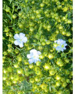 Linseed Seed