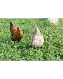 Poultry Pasture Plus Mix