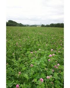 Merviot Red Clover Seed