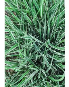 Reed Canary Grass Seed Mix