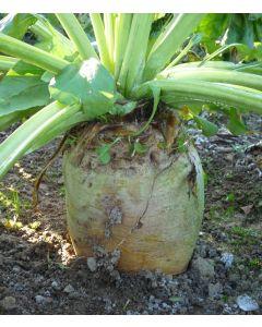 Robbos Fodder Beet Seed