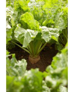 KWS Alisha Energy Beet Seed | Wynnstay Agriculture