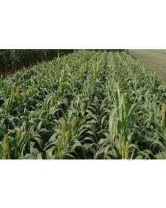 Dwarf Shorty Sorghum