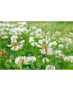 Barblanca Large Leaf White Clover Seed