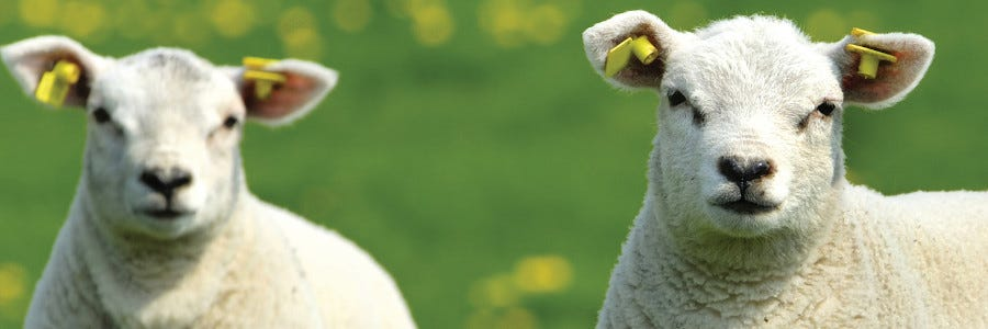 How to manage surplus lambs