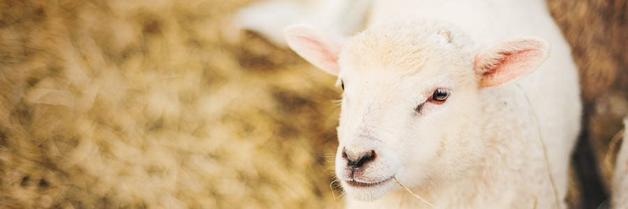 Weaning Lambs - Roughage for young lambs