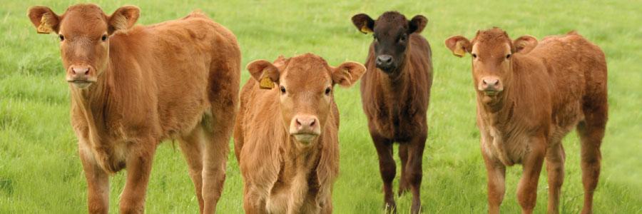 Dengrove Farm Calf-Rearing Focus We Aim to Rear 1000 Calves by 2020