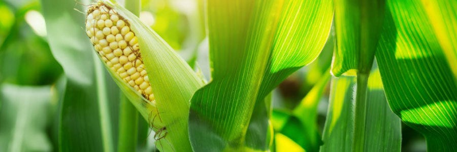 Maize guide: things to consider pre-drilling