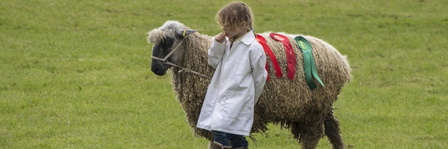 Preparing Your Sheep for Showing