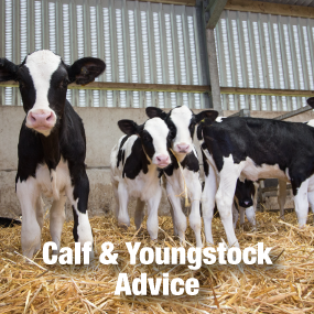 Calf & Youngstock Advice